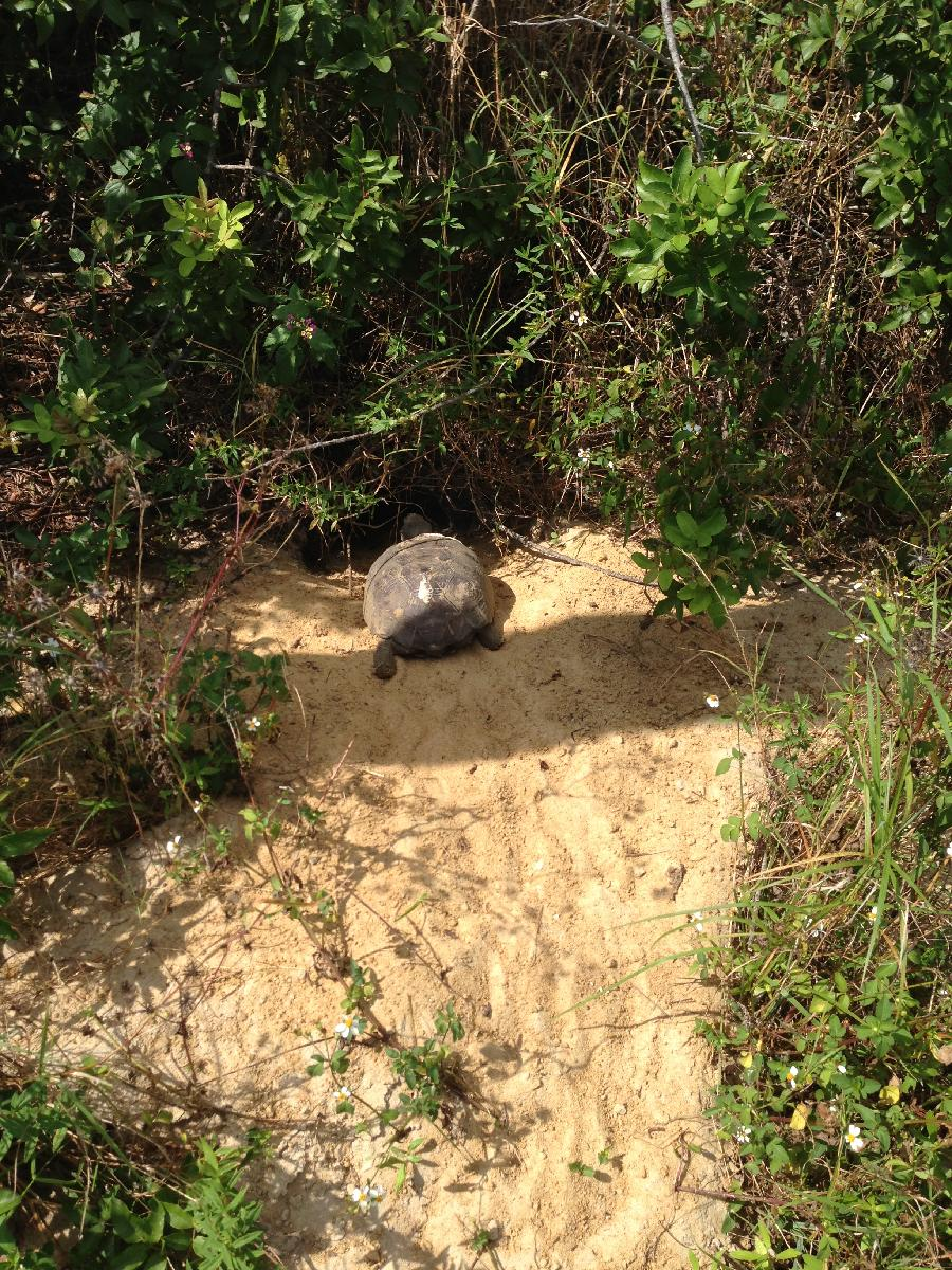 Gopher Tortoise_Burrow