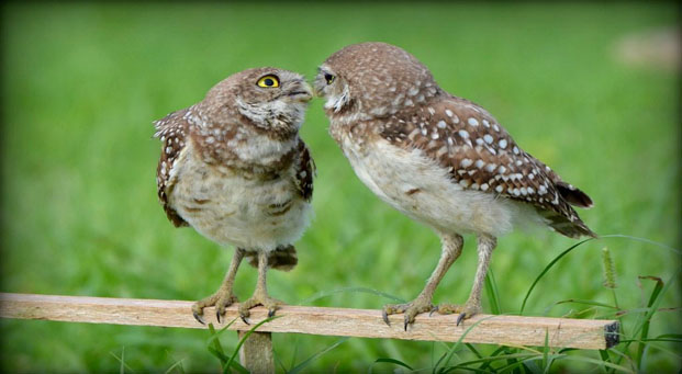 JMcConnell H Burrowing Owl chicks
